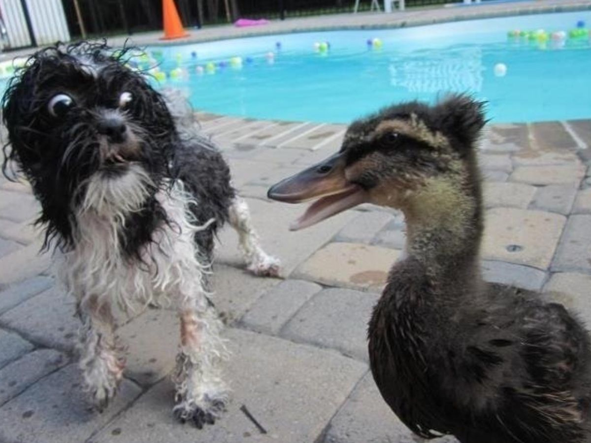duck and dog by the pool chilling