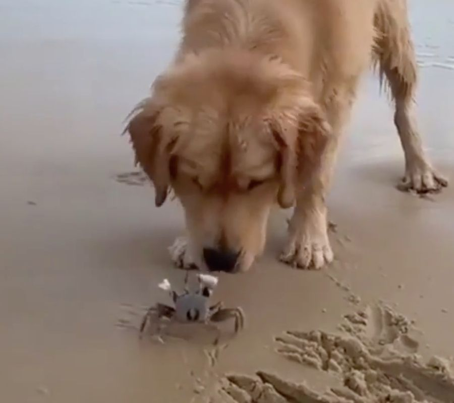 dog and crab scuttling on beach