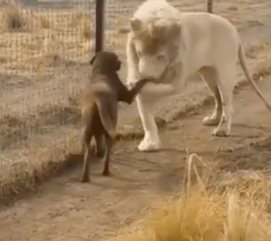 lion kissing dog's hand
