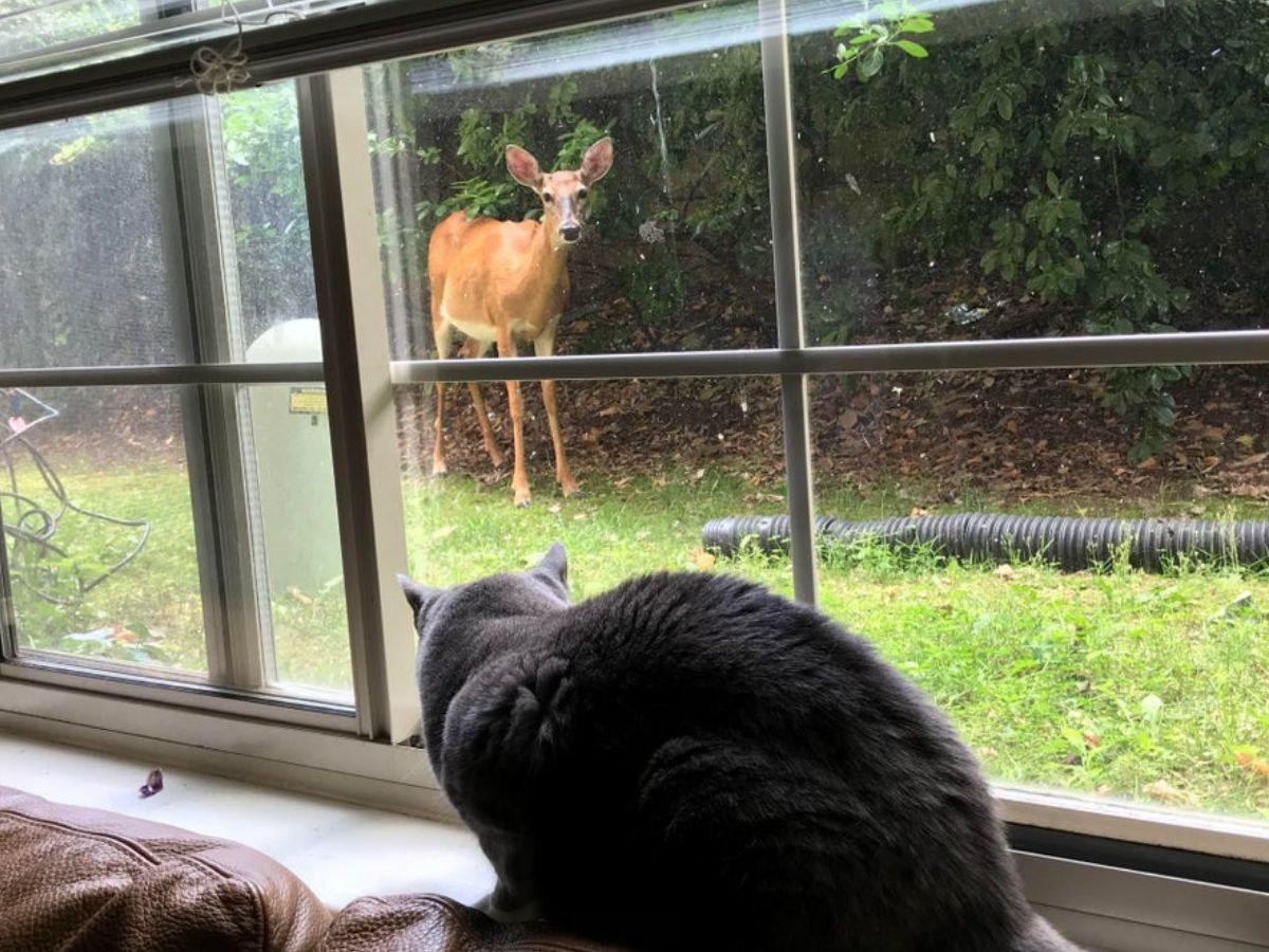 deer at window looking at cat who's also in the window