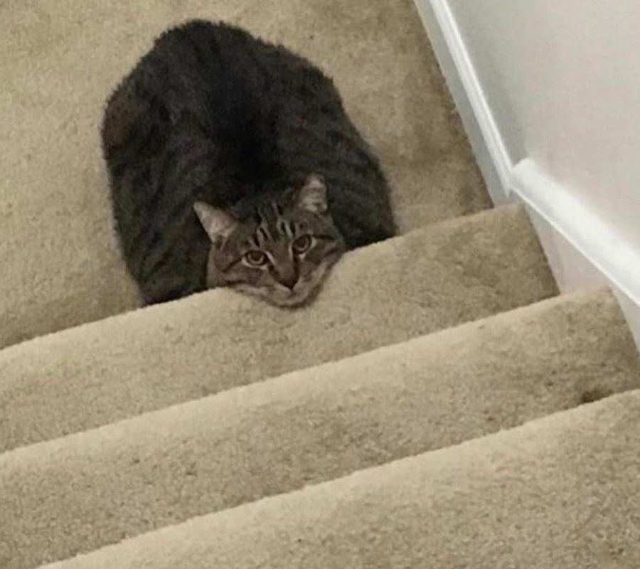 cat head poking out stairs