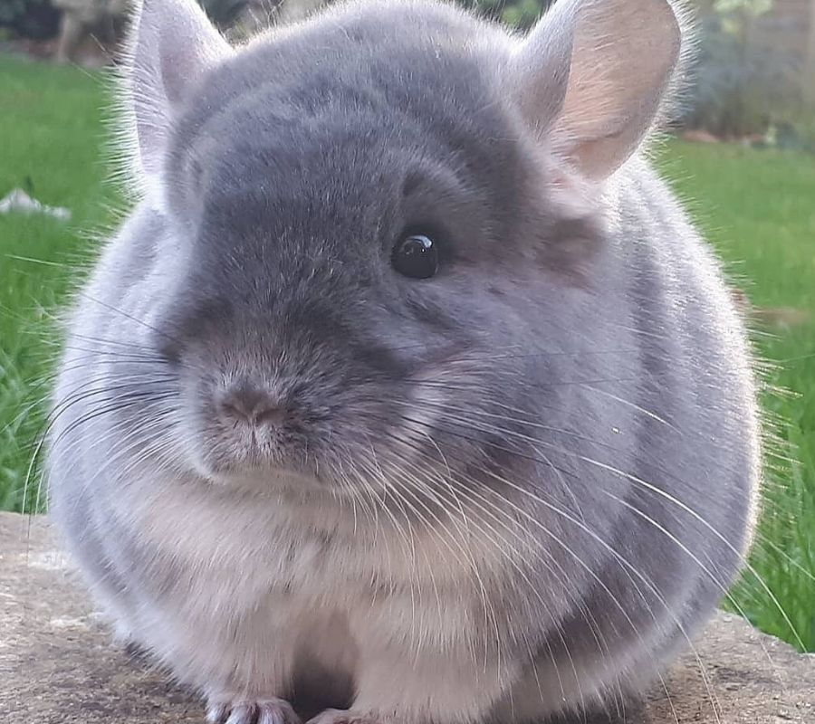round chinchilla