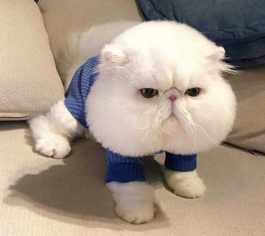chubby cheeks cat in a onesie
