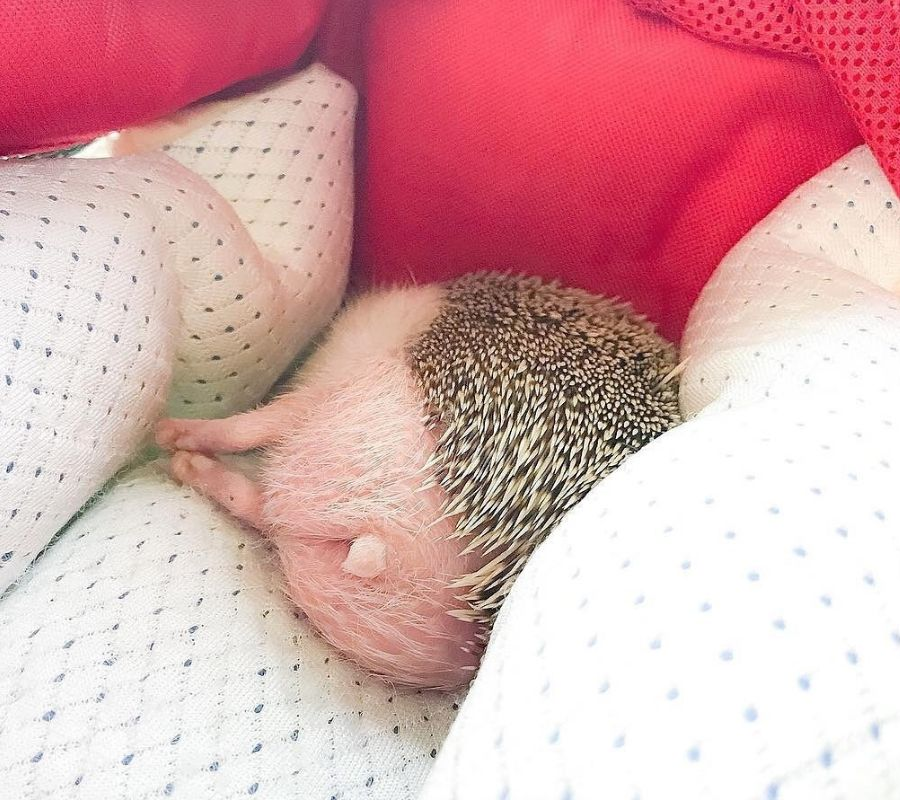 headgehog sleeping
