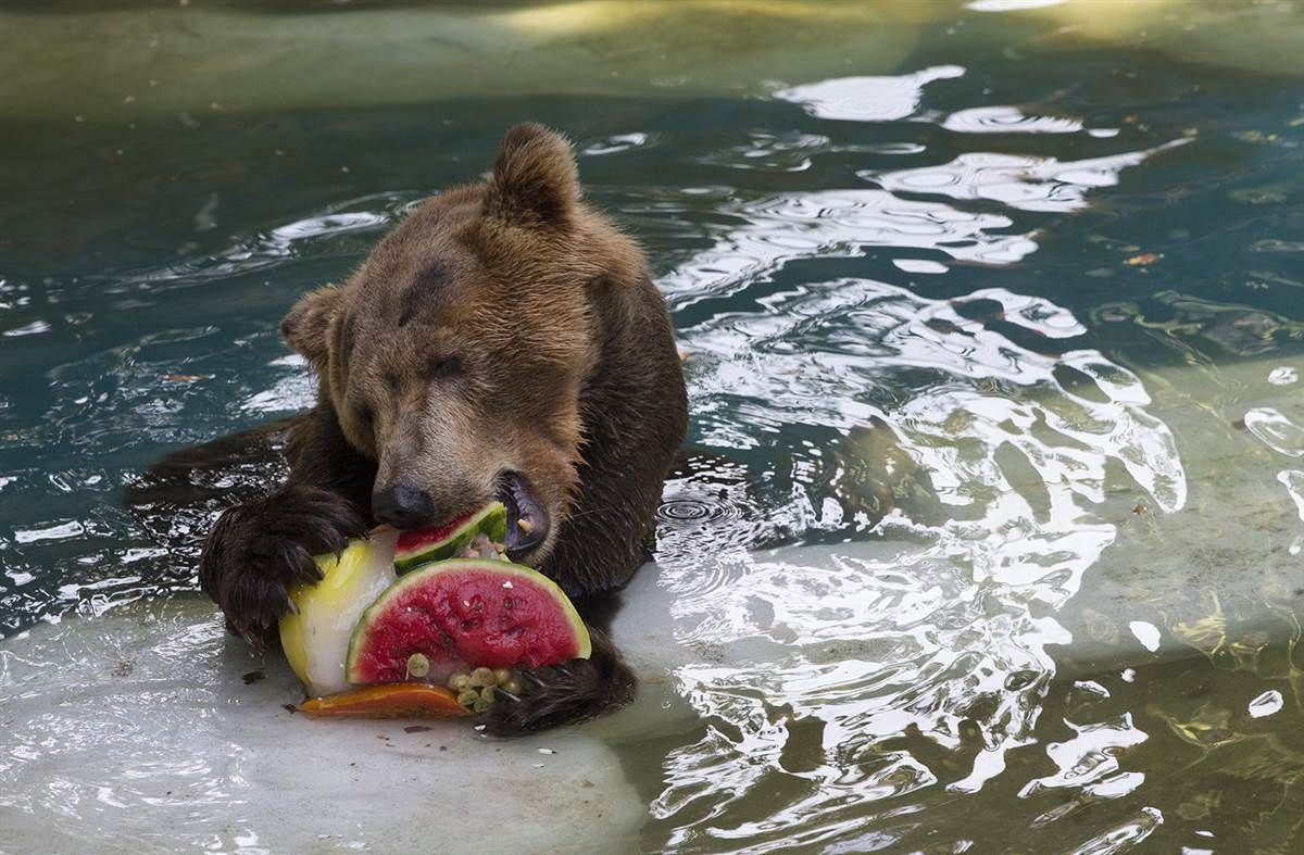 bear in the pool with fruit