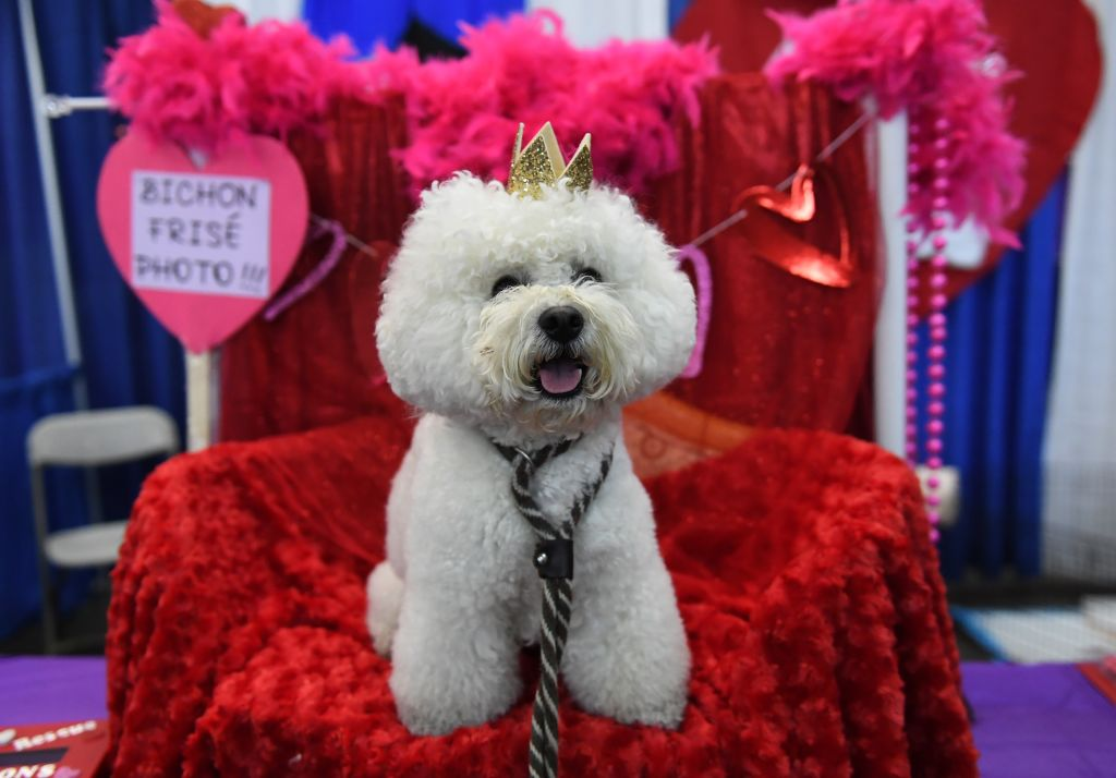 a bichon frise with a crown on a red blanket