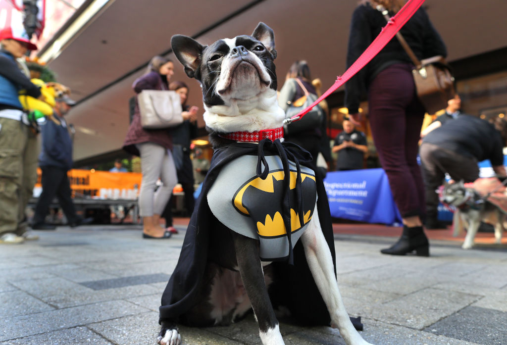 a boston terrier dressed as batman during a costume contest