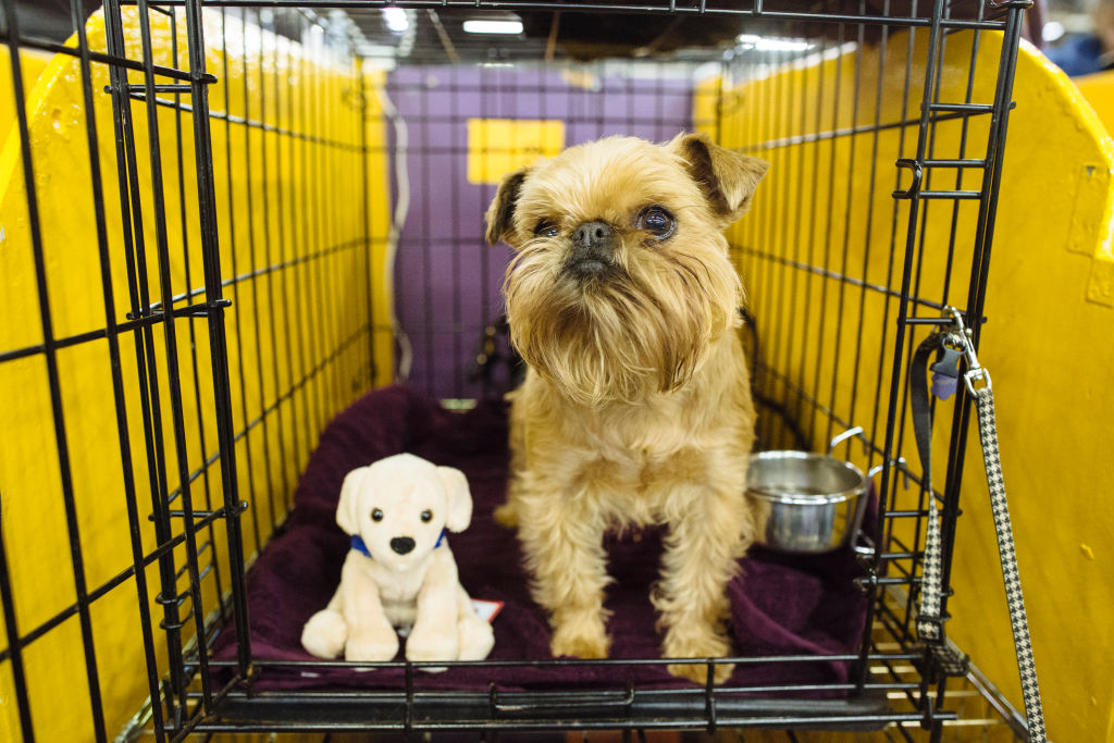 a brussels griffon in a crate with a stuffed dog toy