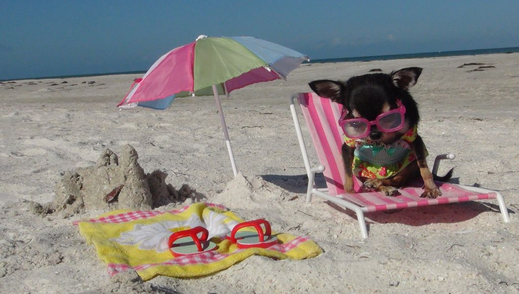 chihuahua sitting in a miniature chair on the beach with miniature towel and umbrella