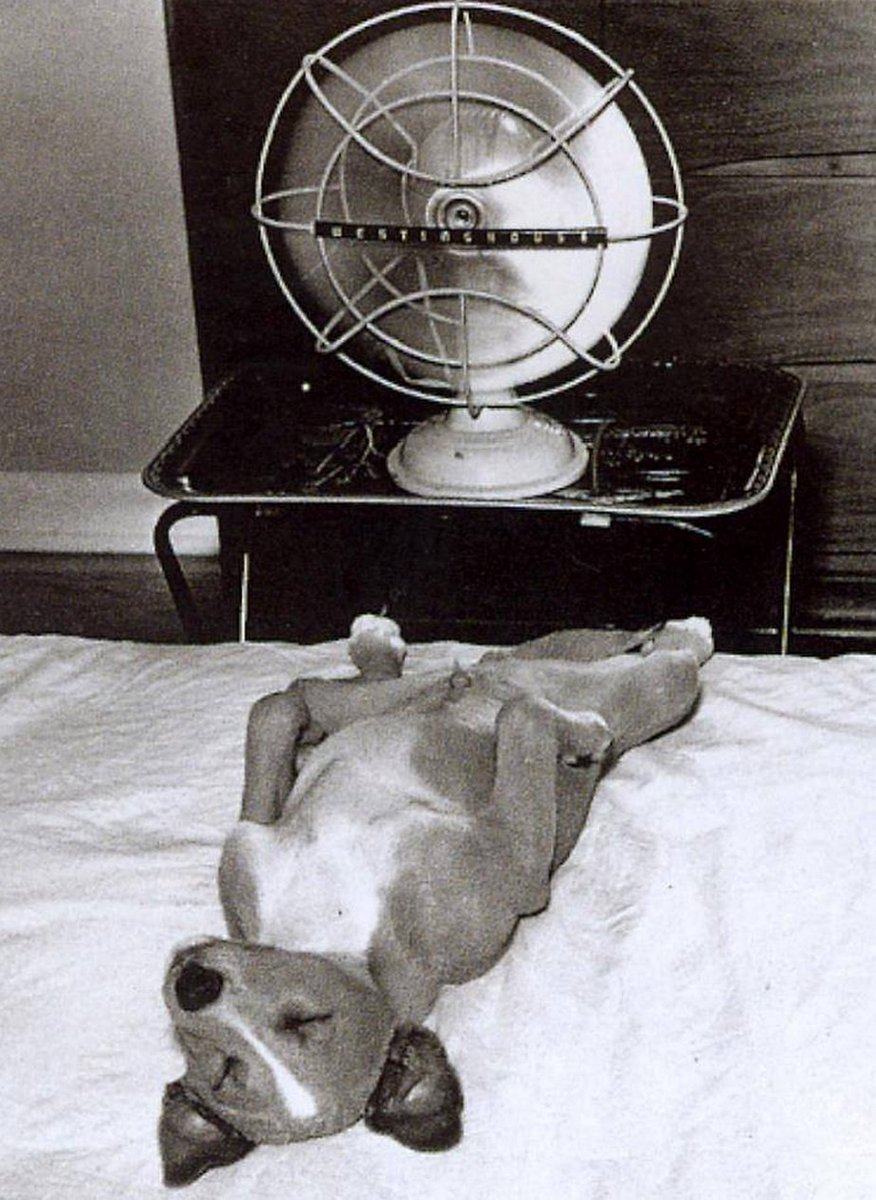 dog relaxing with fan