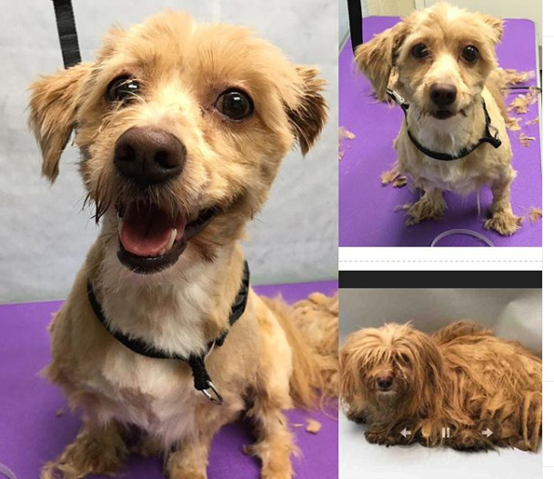 A dog smiles after getting a haircut.