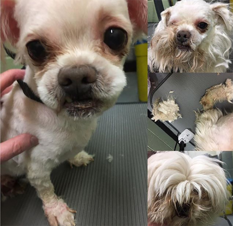 A small white dog with big eyes is revealed after shaving its long, straight fur.