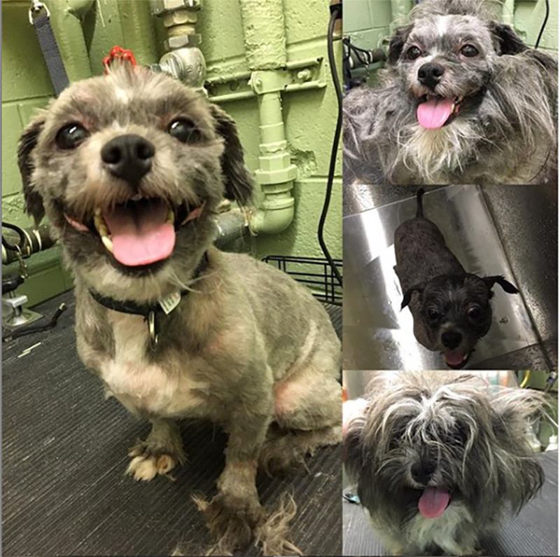 A dog's chaotic, grey fur is cut down to a soft, thin layer.