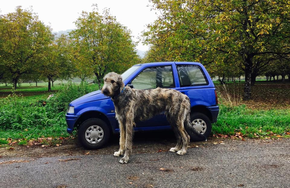 Wolfhound is larger than the car