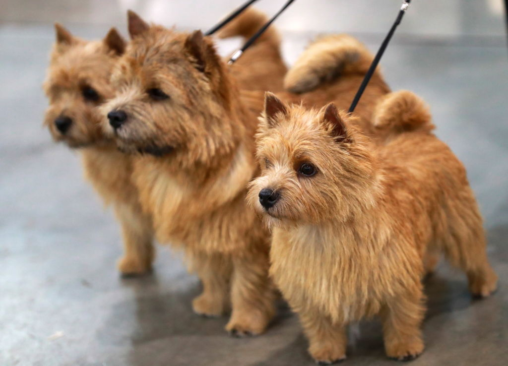 three norwich terriers on leashes