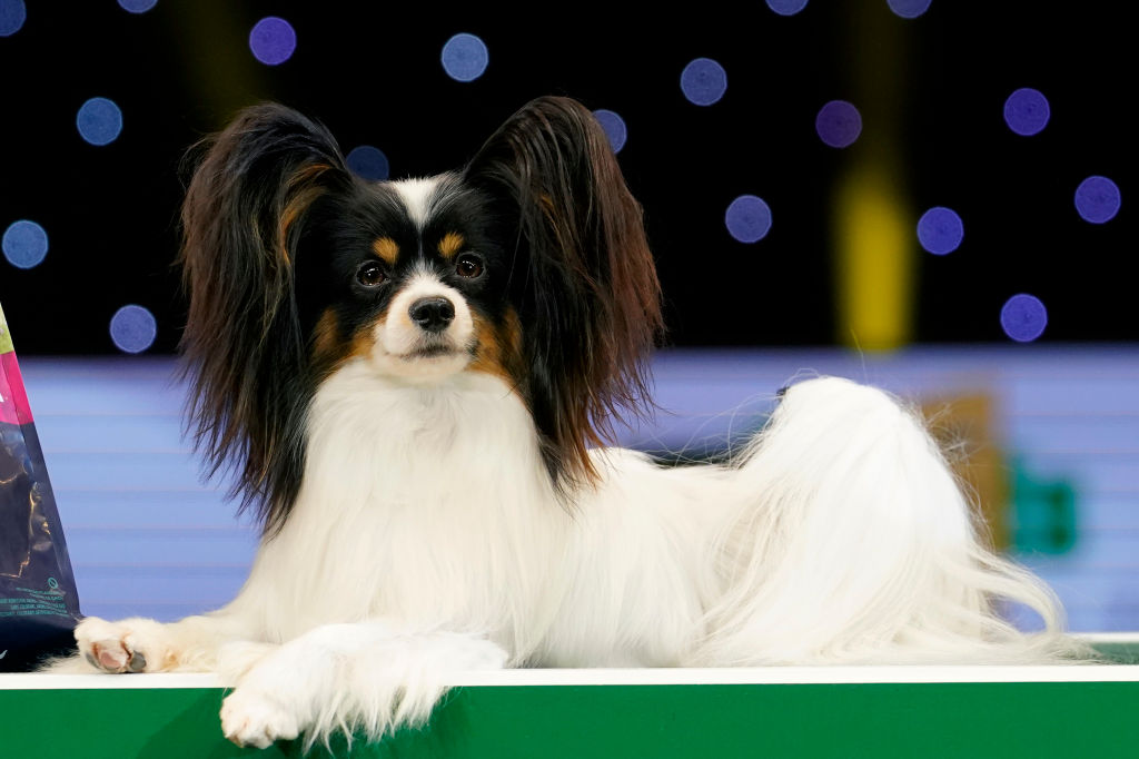 a papillon sitting on a stage