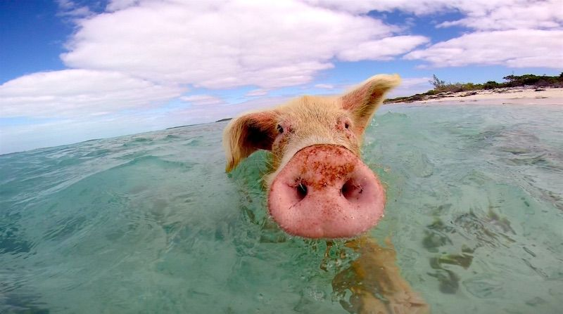 pig swimming at the beach