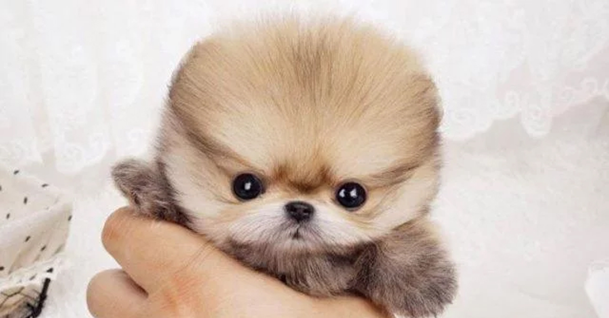 a tiny pomeranian being held