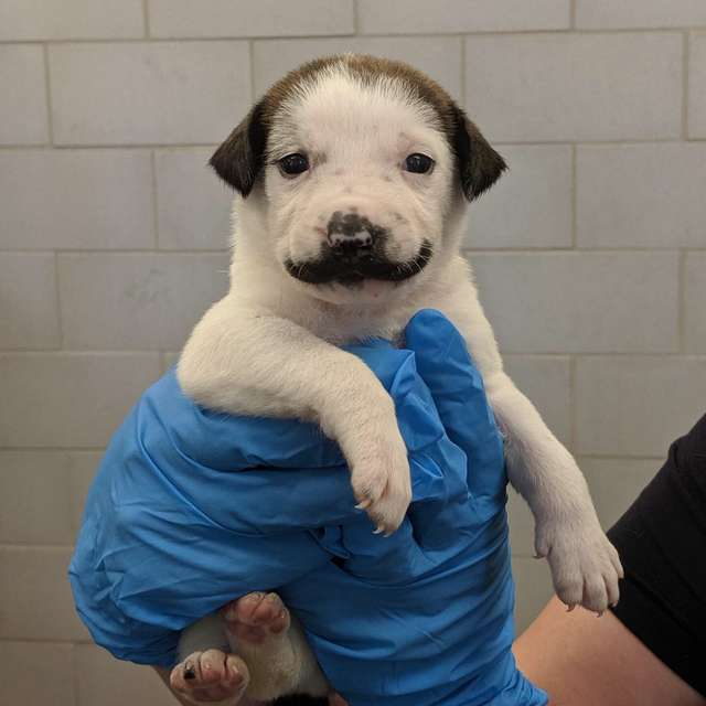 puppy-handle-bar-mustache