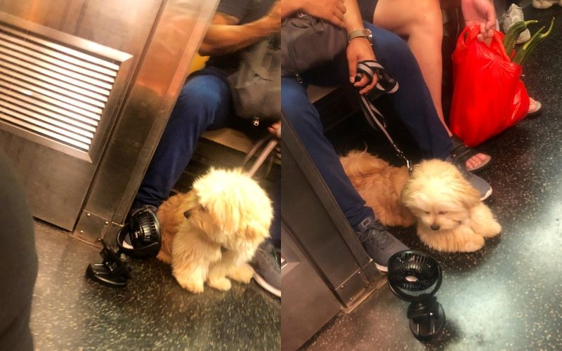 dog with fan on subway