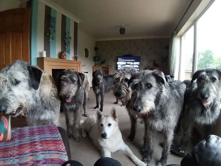 living room full of wolfhounds