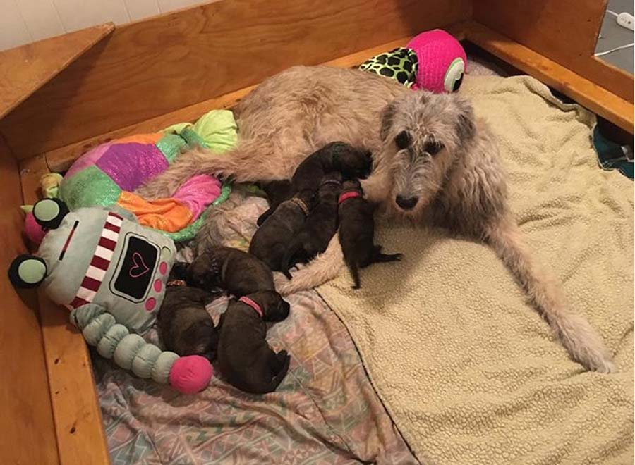 wolfhound with her puppies