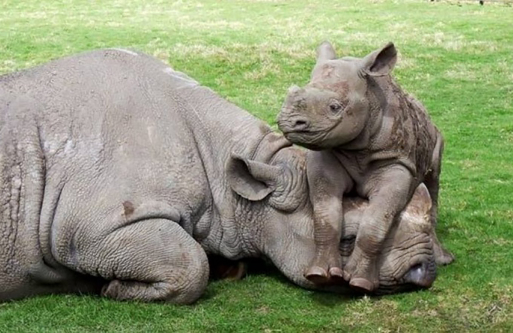 Rhino on its parent's head
