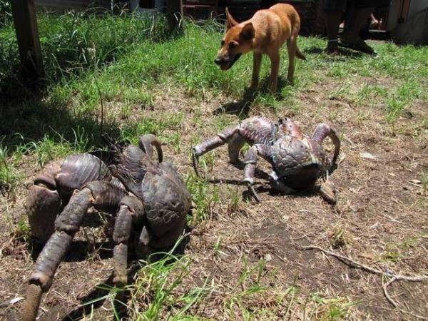Coconut Crabs vs. Doggo