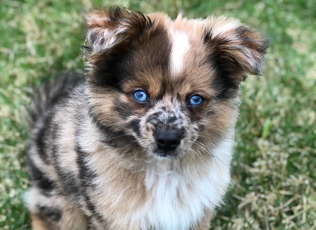 Aussie Pom puppy, an Australian Shepherd and Pomeranian mix