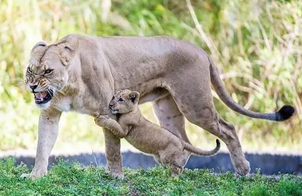 Angry lioness and her cub