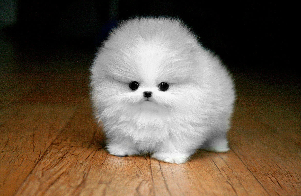 White miniature Pomeranian, or a Chineranian mix