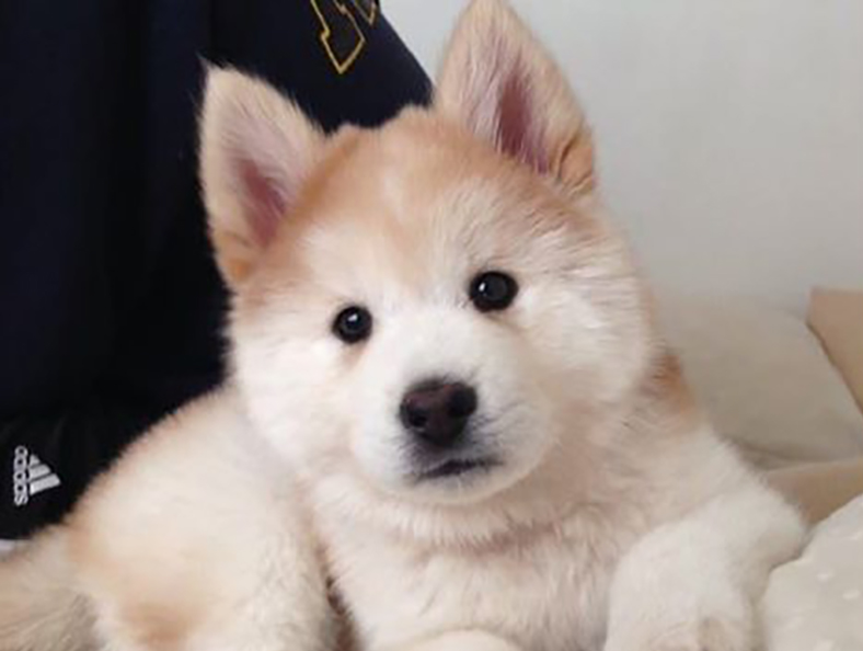 Chusky puppy: Chow Chow and Husky mix