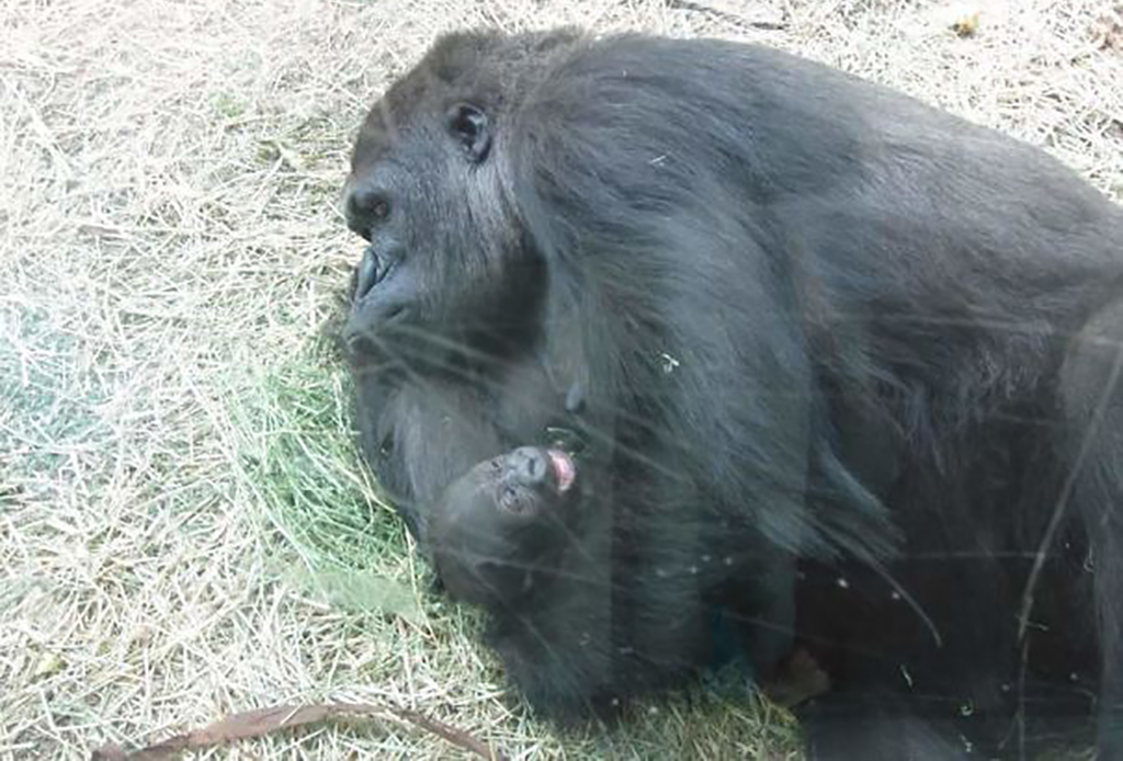 Gorilla holding down their young