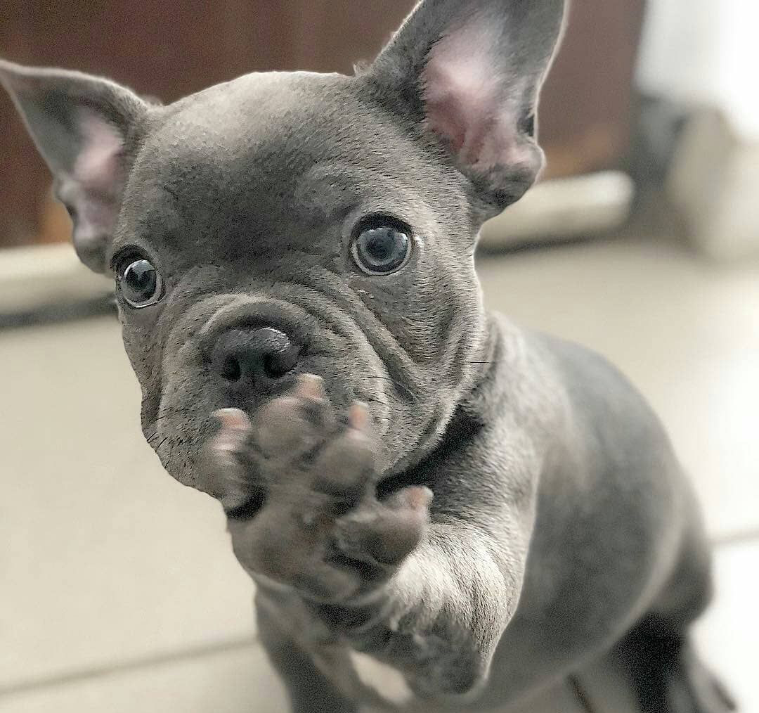 French Bulldog and Miniature Pinscher mixed breed