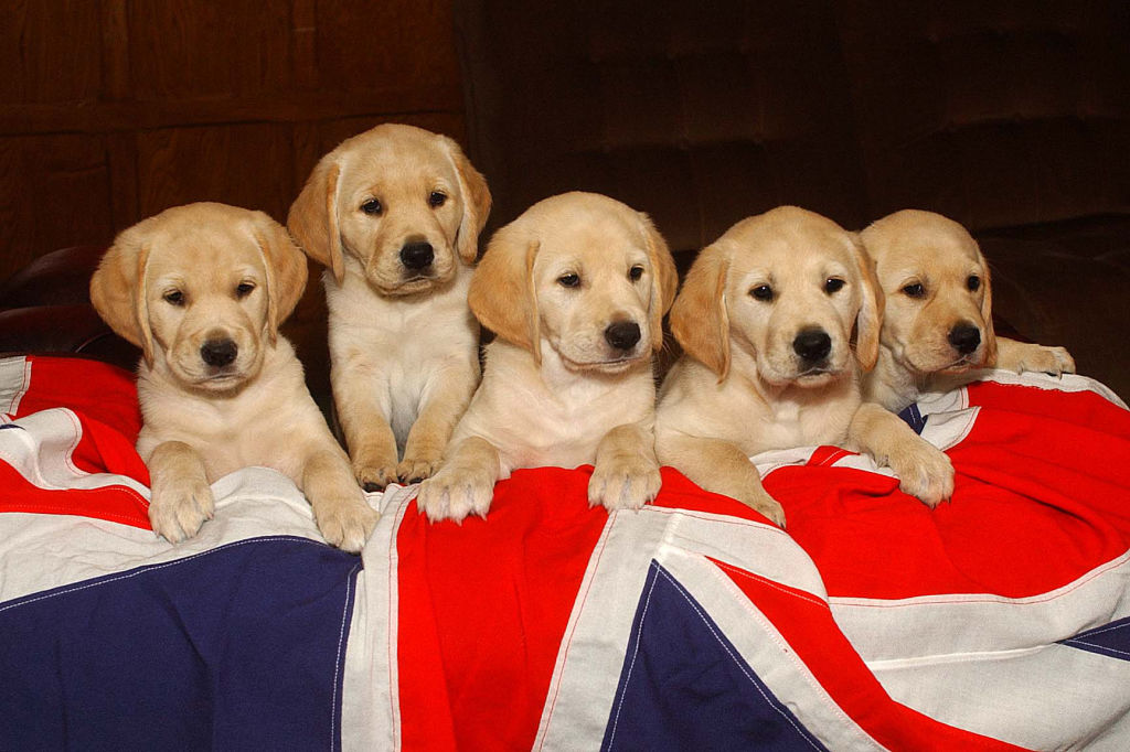 Golden lab puppies on flag