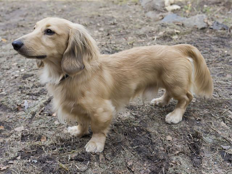A Golden Dox, a mix between a Golden Retriever and a Dachshund