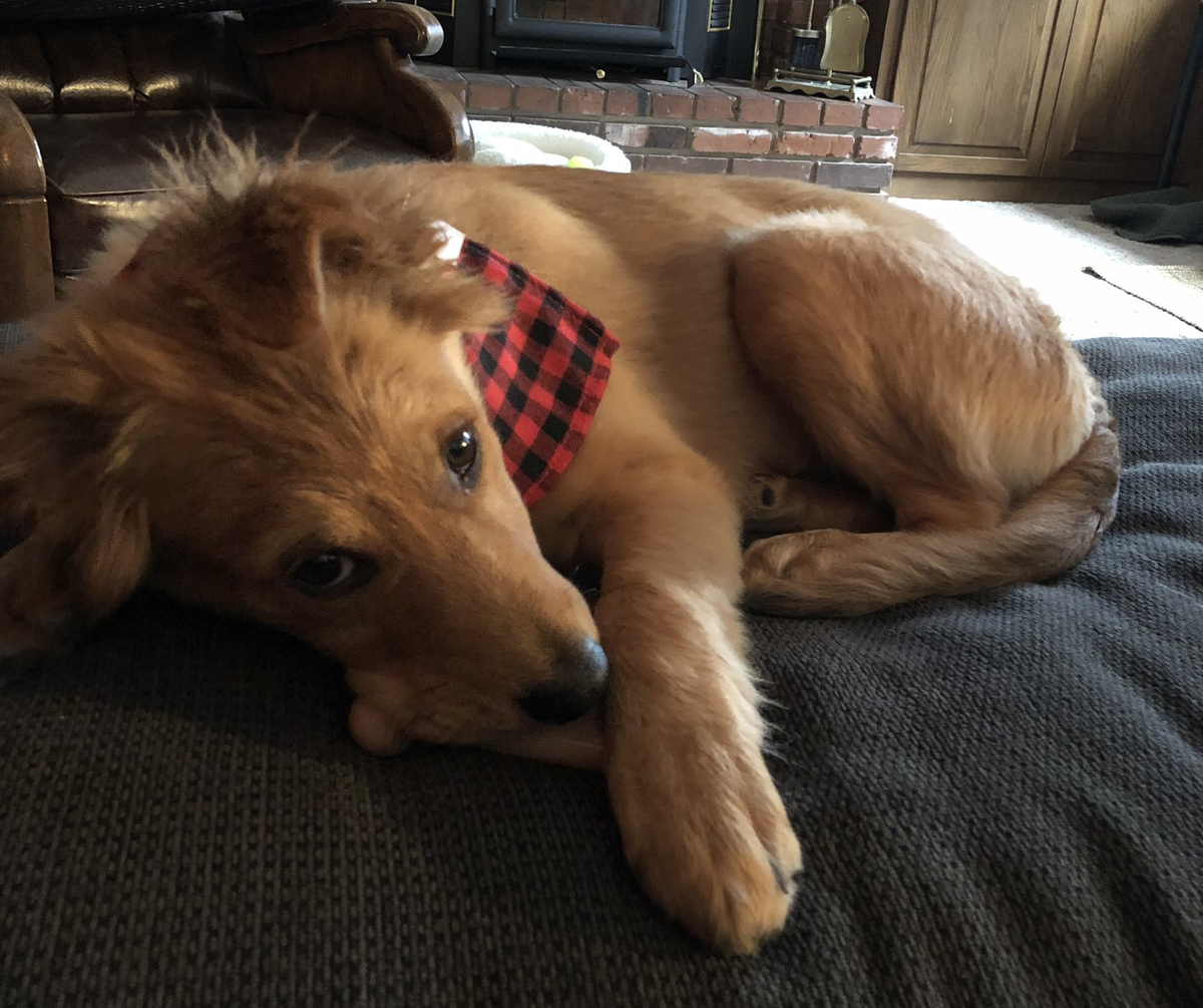Buddy the Gollie, part Golden Retriever and part Collie