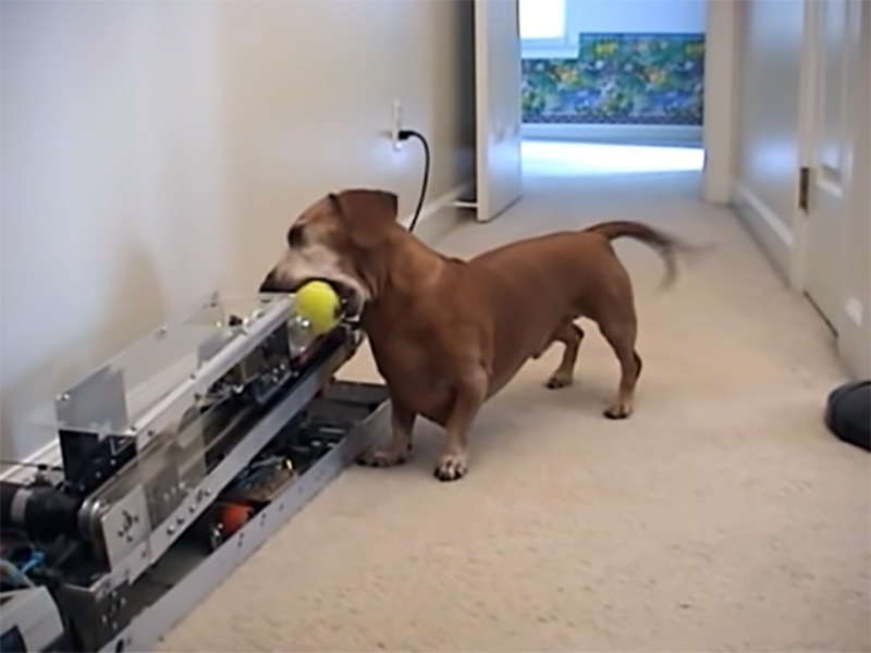A dog sets its ball into a throwing machine