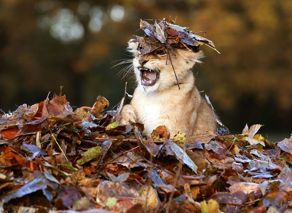 This lion cub is all smiles playing in his leaf pile