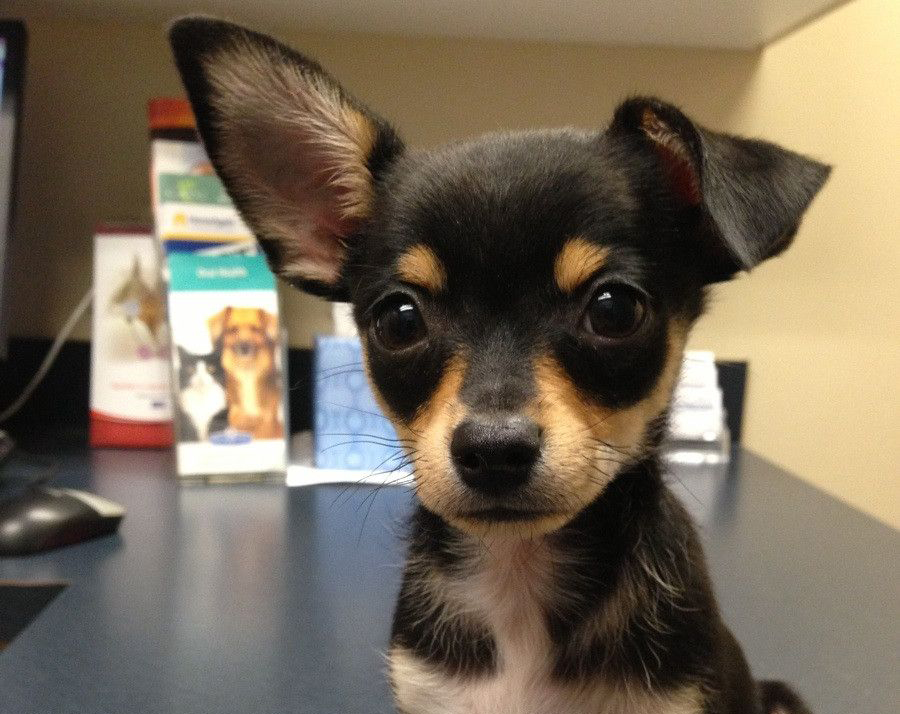 Taco Terrier puppy on his first trip to the vet