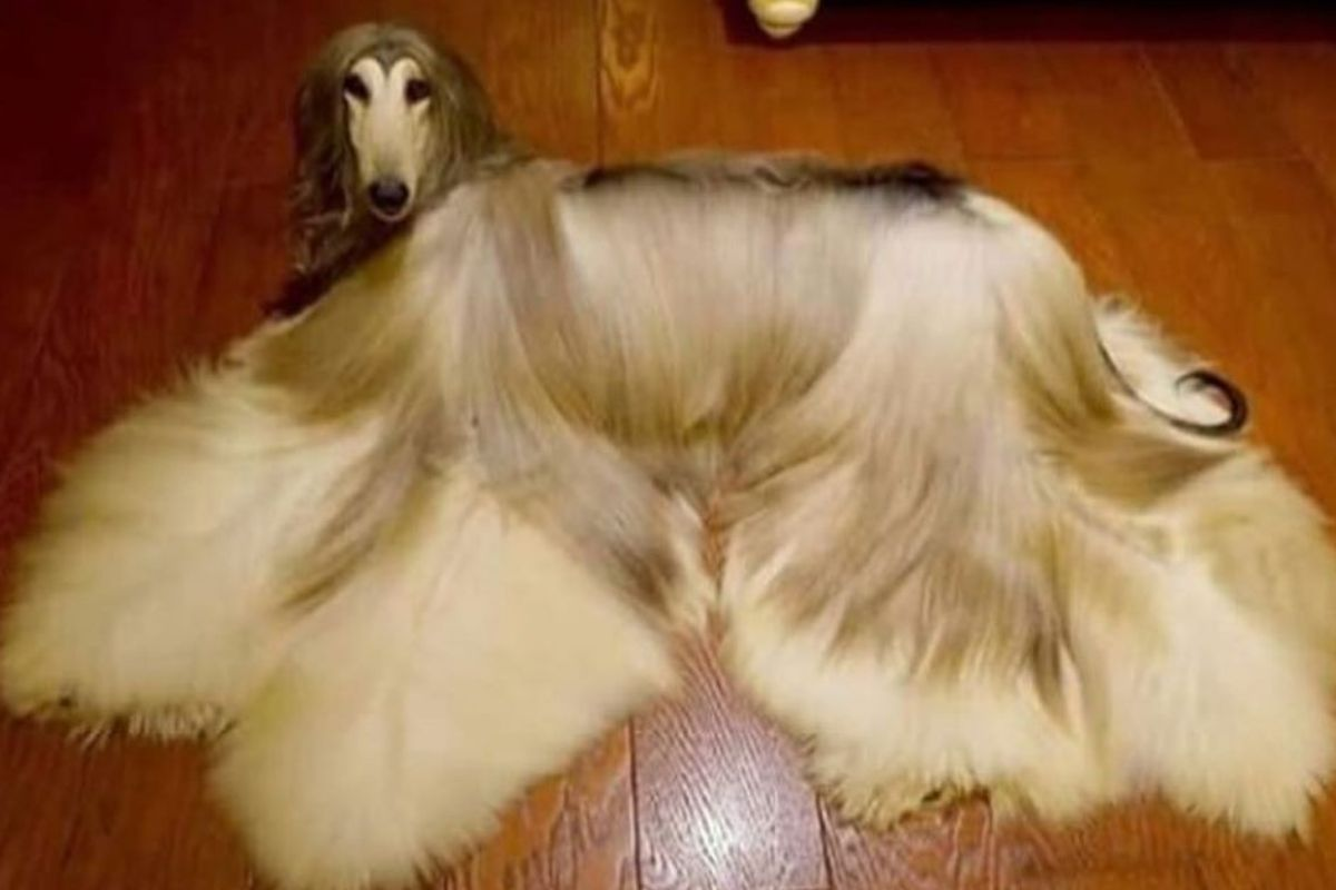 afghan dog pretty fur