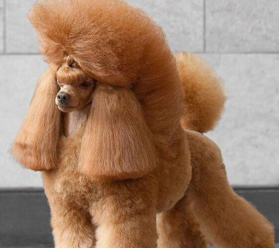 poodle with neat haircut