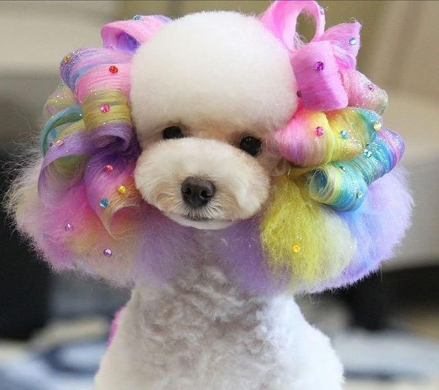 poodle with rainbow hair