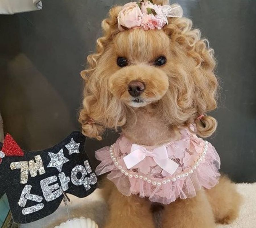 poodle with curls