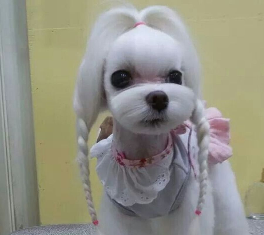 dog with braids