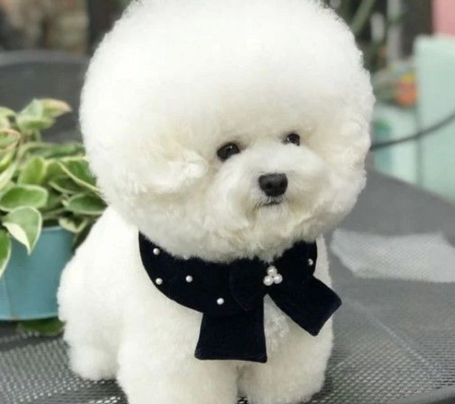 dog with white fluffy hair