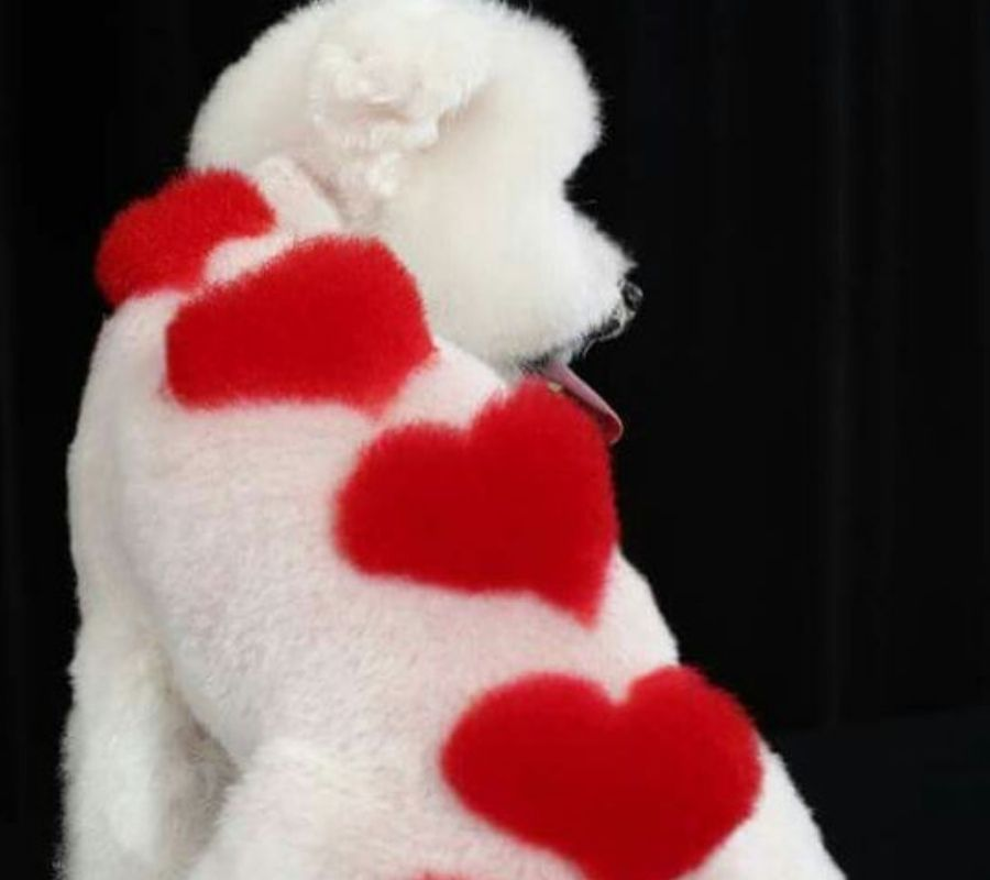 poodle with hearts down it's back