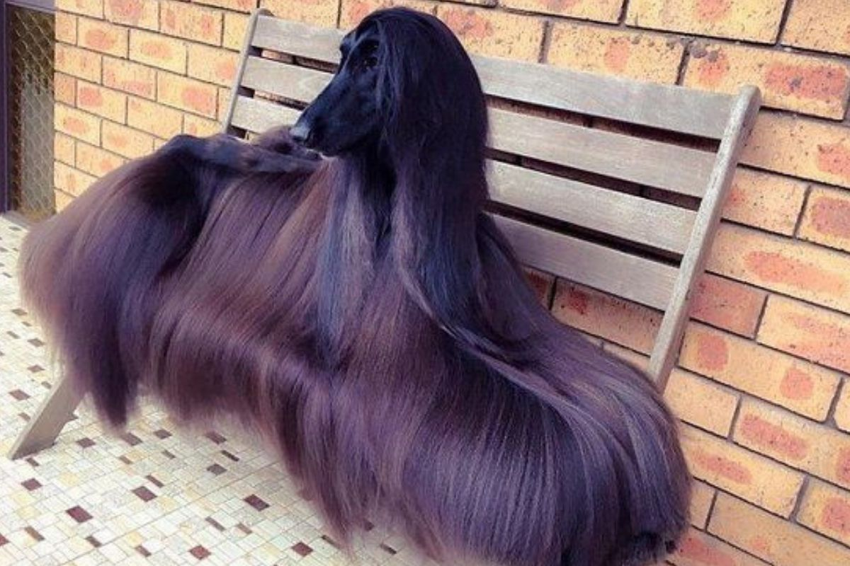 afghan dog glorious looking