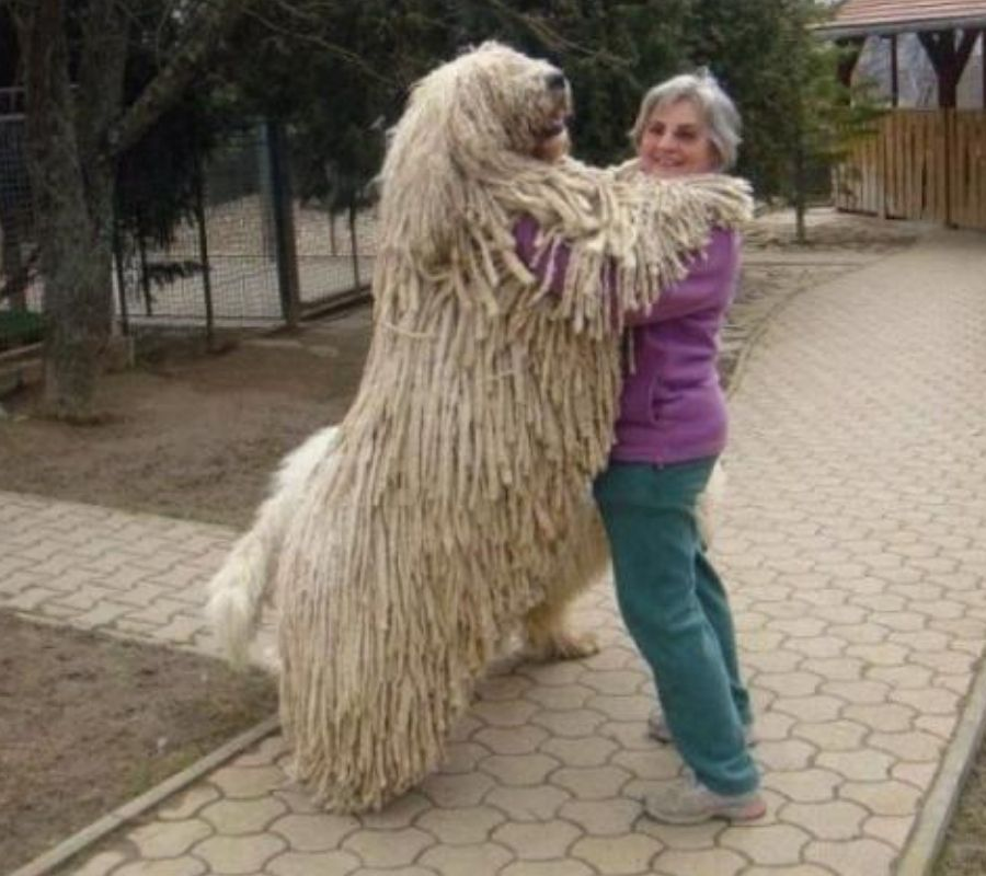 komondor huge