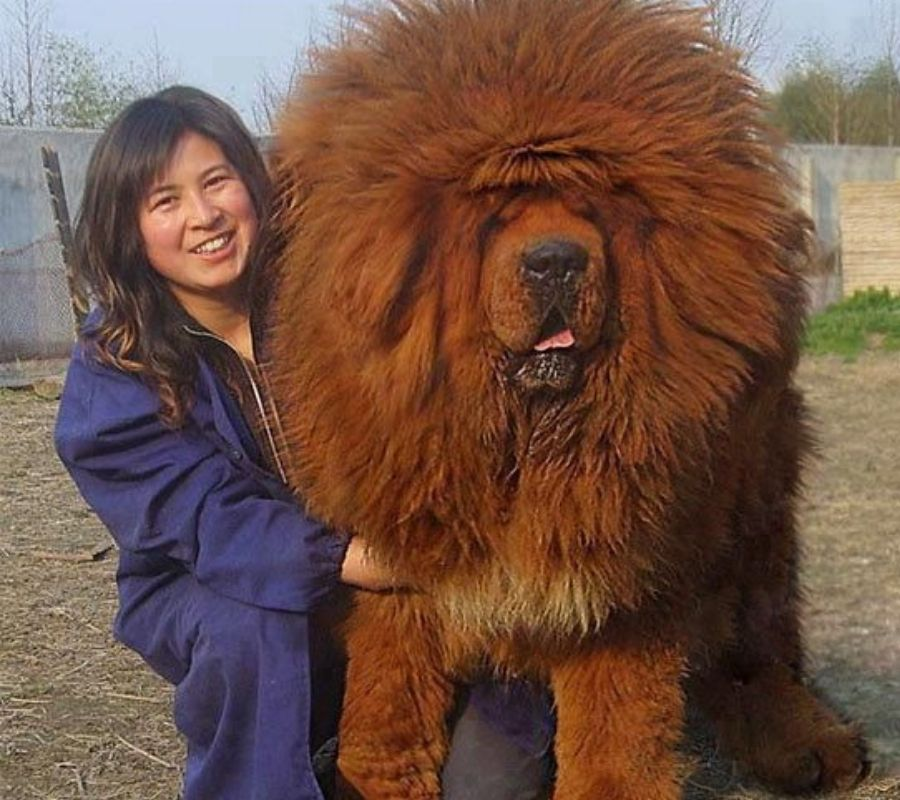 giant tibetan mastiff looks like lion